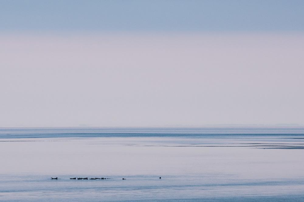 Seals in Loch Gruinart, Islay, Scotland