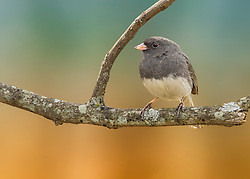 A Dark-Eyed Junco Perched On A Tree Branch