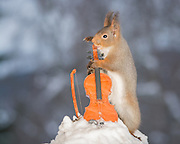 "EXCLUSIVE<br /> Photographer Pictures Squirrels With Tiny Musical Instruments Through Kitchen Window<br /> <br /> Some years ago, squirrels started to come to photographer Geert Weggen's  garden, He decided to build an outside studio from a balcony and started to shoot photos his kitchen window, Some days upto 6 squirrels visit Geert daily.<br /> <br /> This year Geert worked on an idea for a children's book, ""Squirrel Teaching You The Alphabet"", and was confronted with some letters like an object starting with an ""X"". That became a squirrel photo with a xylophone. From there Geert started doing a series of squirrel photos with music instruments. ""It took months to get some music instruments with the right size. I try to bring some magic, wonder and happiness with my work"", these are real photos. Sometimes I take away a wire or some food.<br /> <br /> Photo Shows: VIOLINIST....red squirrel with violin and snow  <br /> ©Geert Weggen/Exclusivepix Media"