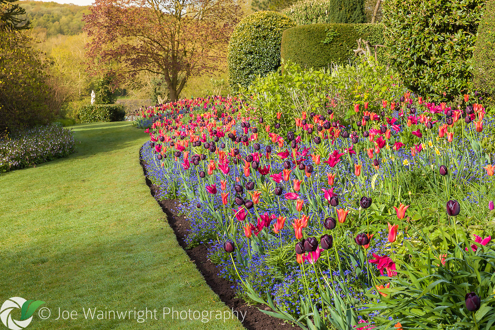 Richly coloured tulips provide a vibrant display at Dorothy Clive Garden, Staffordshire - photographed in May