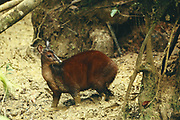Red Brocket Deer<br />