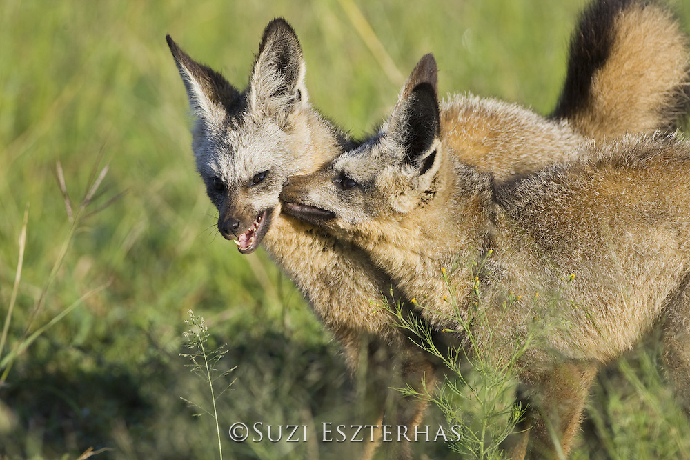 Bat-eared fox<br /> Otocyon megalotis<br /> 8 month old pups playing<br /> Masai Mara Reserve, Kenya