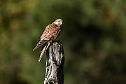 Portrait of a Eurasian Kestrel at the Center for Birds of Prey November 15, 2015 in Awendaw, SC.