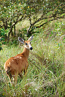 Marsh Deer (Blastocerus dichotomus ) - female -  listed as  a vulnerable species.The Pantanal, Brazil