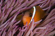Fiji Anemonefish (Amphiprion barberi) <br /> Sheltering in host anemone for protection<br /> Fiji. South Pacific