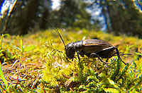 Field cricket, Gryllus campestris, is a large, shiny black cricket with a distinctively large head, particularly in the male. Image by Andres Morya