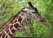 Memphis Zoo Welcomes Second New Baby Giraffe in Less Than One Week~ Wendy, a Memphis Zoo giraffe gave birth recently to a boy calf and his is name is Kiburi, which means precocious in Swahili. Within the same week, the zoo's 12-year-old giraffe Angela Kate gave birth her baby giraffe on April 9, 2019. These births bring the Memphis Zoo's reticulated giraffe herd to 11. Reticulated giraffes are considered endangered, with only 11,000 remaining in the wild and a population that is declining. Memphis Zoo, located in Memphis, Tennessee, is home to more than 4,500 animals representing more than 500 different species.