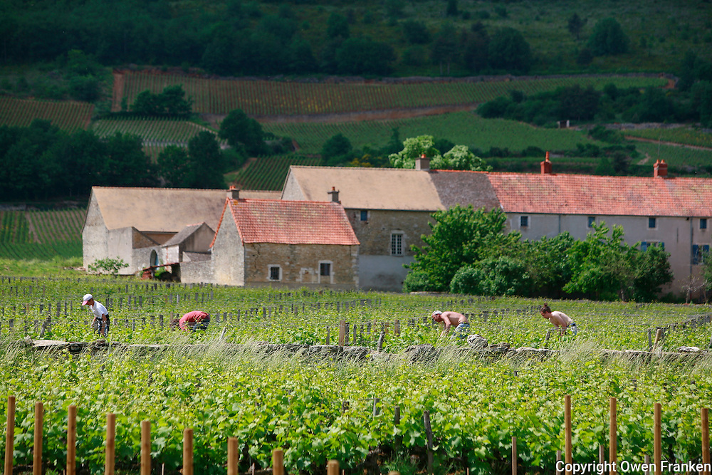 .vineyards in Chassagne-Montrachet, Burgundy..Photo by Owen Franken for the NY Times..May 28, 2008.