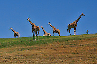 Court of Giraffes