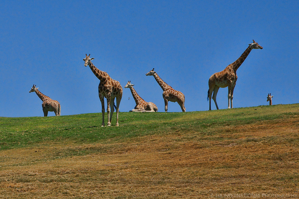 Court of Giraffes