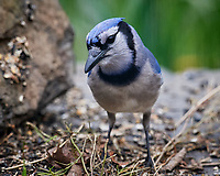 Blue Jay. Image taken with a Nikon D5 camera and 600 mm f/4 VR telephoto lens (ISO 1600, 600 mm, f/5.6, 1/1000 sec).