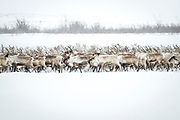 Reindeer cross near the Tuktoyaktuk ice road to get to their spring calving grounds on the Mackenzie Delta.