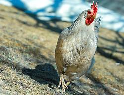 THEMENBILD - ein weißes Huhn auf einer Wiese. Glückliche Hühner in der Bio-Landwirtschaft, aufgenommen am 24. März 2018, Kaprun, Österreich // a white chicken in a meadow. Happy chickens in organic farming on 2018/03/24, Kaprun, Austria. EXPA Pictures © 2018, PhotoCredit: EXPA/ Stefanie Oberhauser