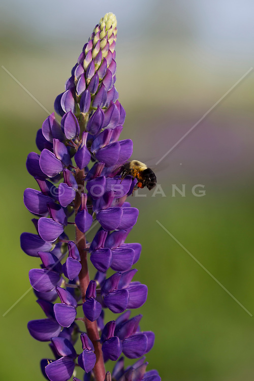 exotic purple flowers with bumble bees