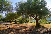 Olive tree plantation as seen on the Greek Island of Cephalonia, Ionian Sea, Greece