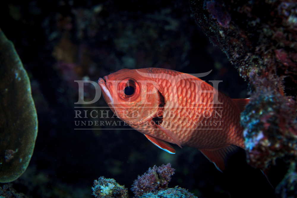 Myripistis berndti (Bigscale Soliderfish) also known as the Blotcheye soldierfish at Palmerston Atoll in the Cook Islands.<br /> Saturday 03 January 2015<br /> Photograph Richard Robinson &copy; 2015