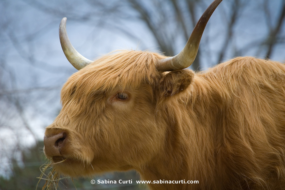 Scottish Highland cattle at Moon in the Pond Farm, Sheffield, MA