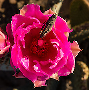 A grasshopper stands on a pink prickly pear cactus flower (Opuntia genus in the cactus family, Cactaceae) at Callville Bay, in Lake Mead National Recreation Area, Nevada, USA. Like all true cactus species, prickly pears are native only to the Western hemisphere; however, they have been introduced elsewhere on earth. Formation of Lake Mead began in 1935, less than a year before Hoover Dam was completed along the Colorado River. The area surrounding Lake Mead was established as the Boulder Dam Recreation Area in 1936. In 1964, the area was expanded and became the first National Recreation Area established by US Congress. Three desert ecosystems meet in Lake Mead NRA: Mojave Desert, Great Basin Desert, and Sonoran Desert.