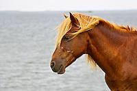 Wild Horse of Assateague Island Profile