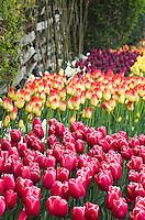 Tulips in Roozengaarde Display Gardens, Skagit Valley Washington