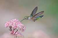 Broad-tailed Hummingbird [Selasphorus platycercus] female, feeding at .Sedum flowers; Fremont County, Colorado