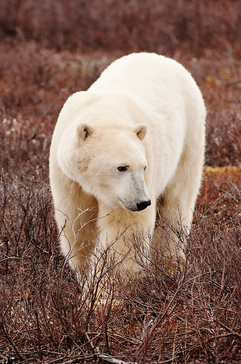 CANADA, Churchill (Hudson Bay).Polar bear (Ursus maritimus)