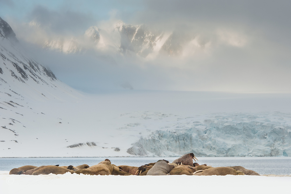 A group of Walrus (Odobenus rosmarus) resting on snow early in spring on Spitsbergen, Svalbard.