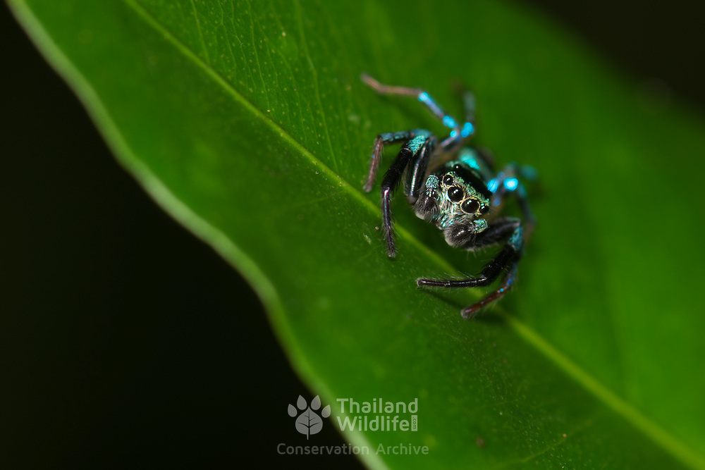 A jumping spider family Salticidae photographed in Khao Soi Dao Wildlife Sancuary, Thailand.