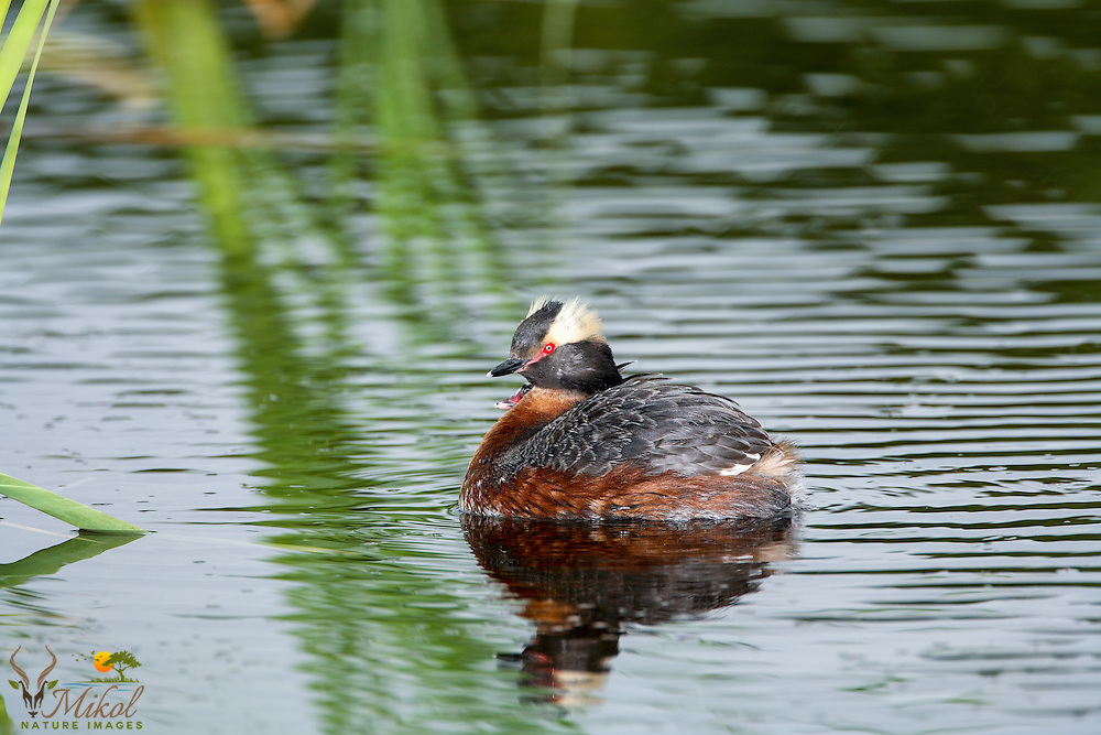 Horned Grebe with Chick on back, partially obscurred