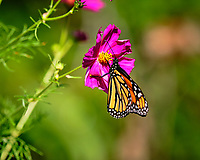 Monarch butterfly feeding on Cosmos flowers. Image taken with a Fuji X-T3 camera and 200 mm f/2 lens