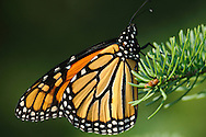 This Monarch Butterfly was perched on pine branch at Cowanesque Lake in PA.