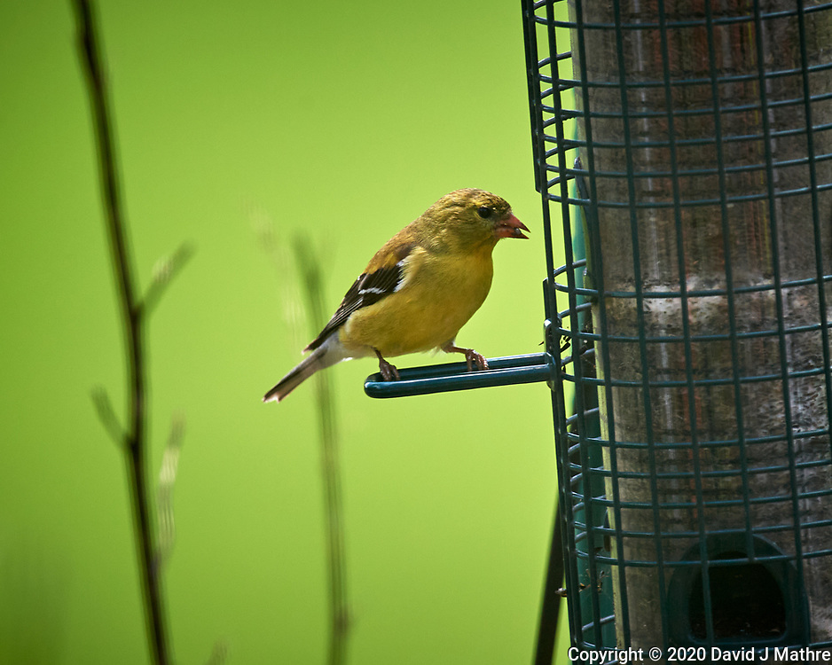 American Goldfinch. Image taken with a Nikon D5 camera and 600 mm f/4 VR telephoto lens (ISO 450, 600 mm, f/5.6, 1/1250 sec).