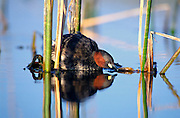 &lt;b&gt;EN&lt;/b&gt;. Little grebe (Tachybaptus ruficollis) reflected on pond. Malaga province, Andalucia, Spain.<br />