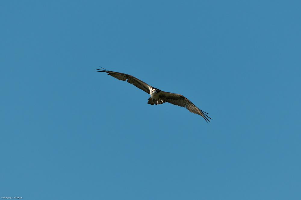 Adult Osprey intruder flying into nest area.
