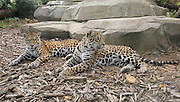 Jaguar (Panthera onca), Zone Guyane of the new Parc Zoologique de Paris or Zoo de Vincennes, (Zoological Gardens of Paris or Vincennes Zoo), which reopened April 2014, part of the Museum national d'Histoire naturelle (National Museum of Natural History), 12th arrondissement, Paris, France. Picture by Manuel Cohen