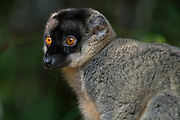 Common brown lemur (Eulemur fulvus) at Andasibe NP, eastern Madagascar.