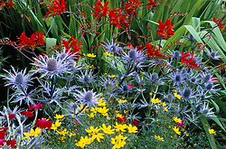 Crocosmia 'Lucifer', Eryngium x oliverianum and Coreopsis verticillata at Great Dixter