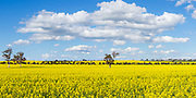 trees on hill overlooking canola crop under clouds near Erin vale, New South Wales, Australia.