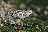 Juvenile<br /> Los Angeles Co., CA<br /> October 2005 Grey Plover - Pluvialis squatarola - Adult moulting into full Summer Plumage. L 28cm. Plump-bodied coastal wader. Best known in winter plumage but breeding plumage sometimes seen in newly-arrived, or shortly-to-depart, migrants. In flight, note black 'armpits' on otherwise white underwings. Typically solitary. Sexes are similar. Adult in winter looks overall grey but upperparts are spangled with black and white and underparts are whitish. Legs and bill are dark. In summer plumage, has striking black underparts (sometimes rather mottled in females) separated from spangled grey upperparts by broad white band. Juvenile resembles winter adult but has buff wash to plumage. Voice Utters diagnostic, trisyllabic pee-oo-ee call, like a human wolf-whistle. Status Nests in high Arctic; coastal, non-breeding visitor to Britain and Ireland