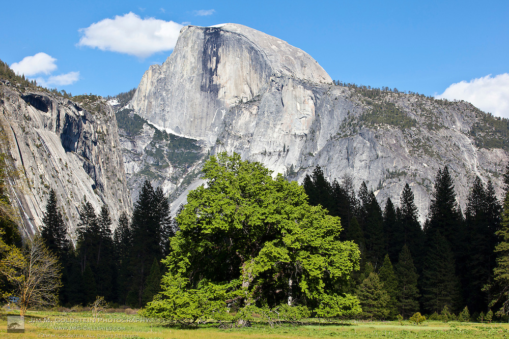 A lush and green Elm tree  on Cook's Meadow with Half Dome in the background on a warm Spring day - Yosemite National Park, California