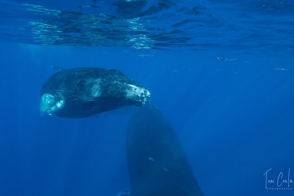humpback whale ~ Megaptera novaeangliae ~ calf ~ Silver Bank, Dominican Republic ~ www.aquaticadventures.com