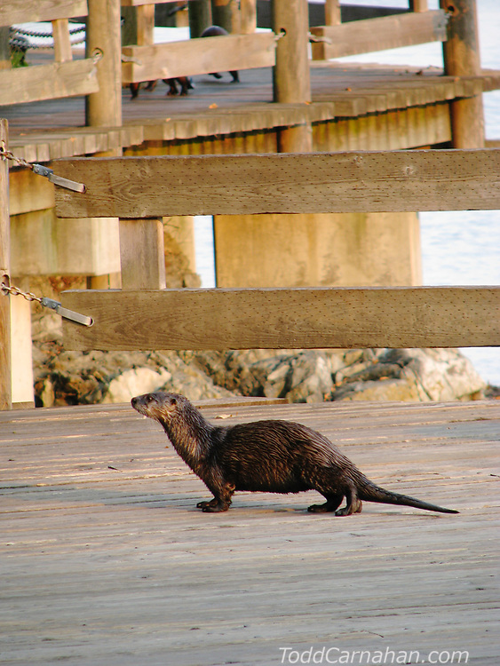 A River Otter looking for her family (in background) in Victoria Harbour