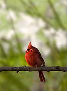 A closeup shot of a male cardinal bird. Photo by Brandon Alms Photography