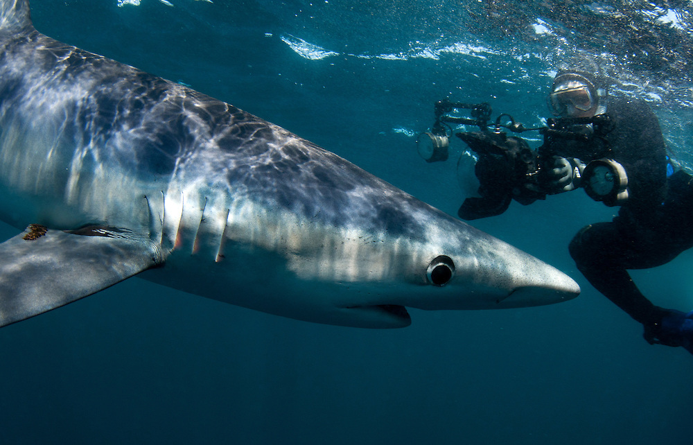Blue shark and photographer off Rhode Island, USA.