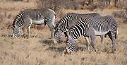 Grevy's zebras (Equus grevyi) grazing in Samburu National Reserve, Kenya.