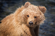 Cub Scout- Brown Bear - Alaska: Brooks Falls is one of the best places in the world to watch brown bears because it is one of the first streams in the region where bright, energetic, and pre-spawned salmon are available to bears. In July, most salmon are moving through large rivers and lakes where bears cannot successfully fish. Early in the salmon run, Brooks Falls creates a temporary barrier to migrating salmon. This results in a particularly successful fishing spot for bears. Once salmon stop migrating in large numbers, Brooks Falls is no longer a good place to fish and bears quickly abandon that spot for better fishing elsewhere.