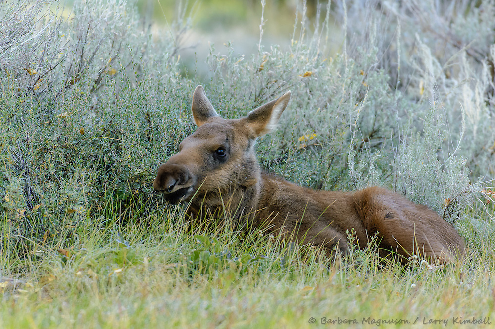 Moose [Alces alces]  calf, morning along the Gros Ventre River, Grand Teton NP, Wyoming