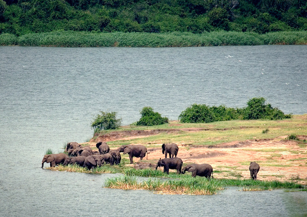 Overlooking the Kazinga Channel, we had lunch on a hill watching this herd of elephants make their way to the river to drink, play, fight.....
