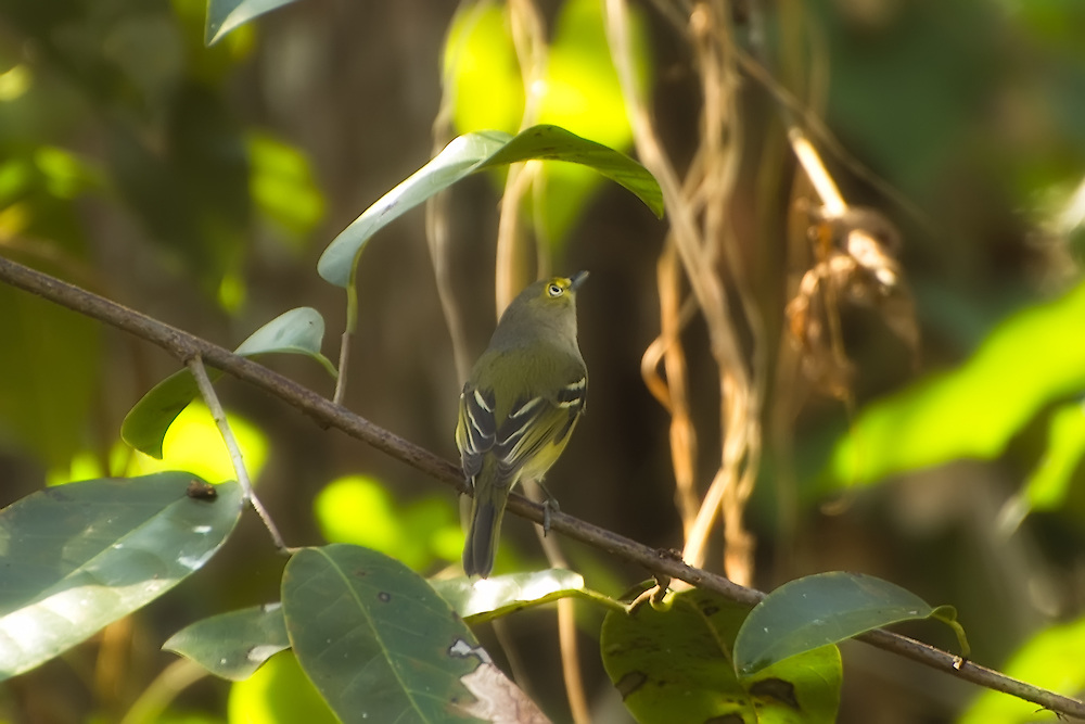 White-eyed vireo perched on a branch in the Corkscrew Swamp in Collier County, Florida. One of my favorite songbirds and sometimes difficult to spot even if heard close by.