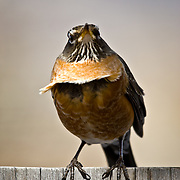 A robin gets its breast fluffed by the blowing spring wind, Eagle Colorado.